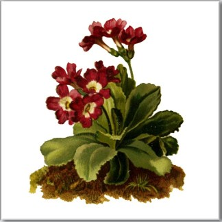 Primrose Flower Ceramic Wall Tile