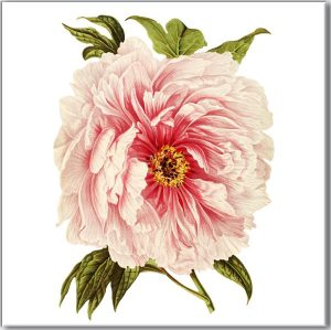 Flower Tiles - pale pink Peony flower ceramic wall tile