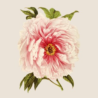Pink Peony on a Cream Background ceramic wall tile