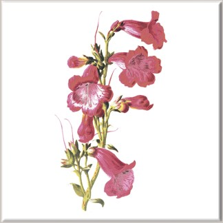 Dark Pink Penstemon Flowers Ceramic Wall Tile