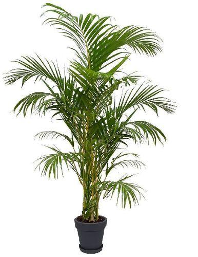 Ikea Pflanzen Palme Dracaena Deremensis Pflanze Ikea