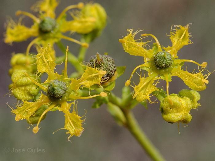 https://i1.wp.com/www.florasilvestre.es/mediterranea/Rutaceae/Ruta_angustifolia.jpg