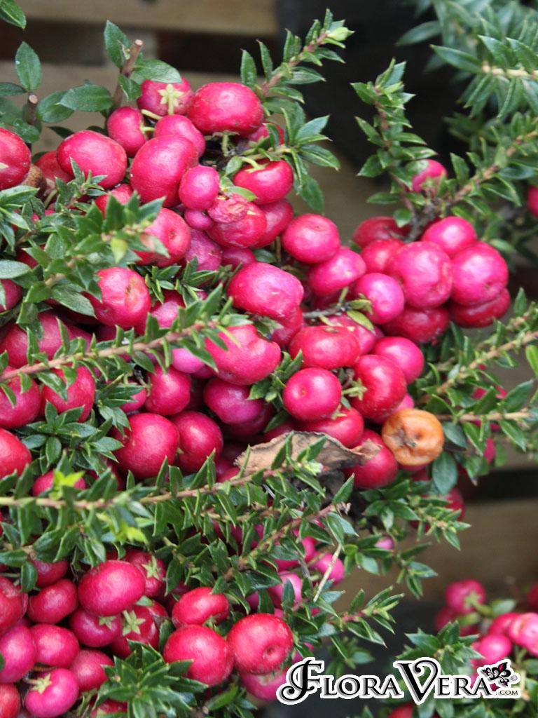 Gaultheria Mucronata Floravera