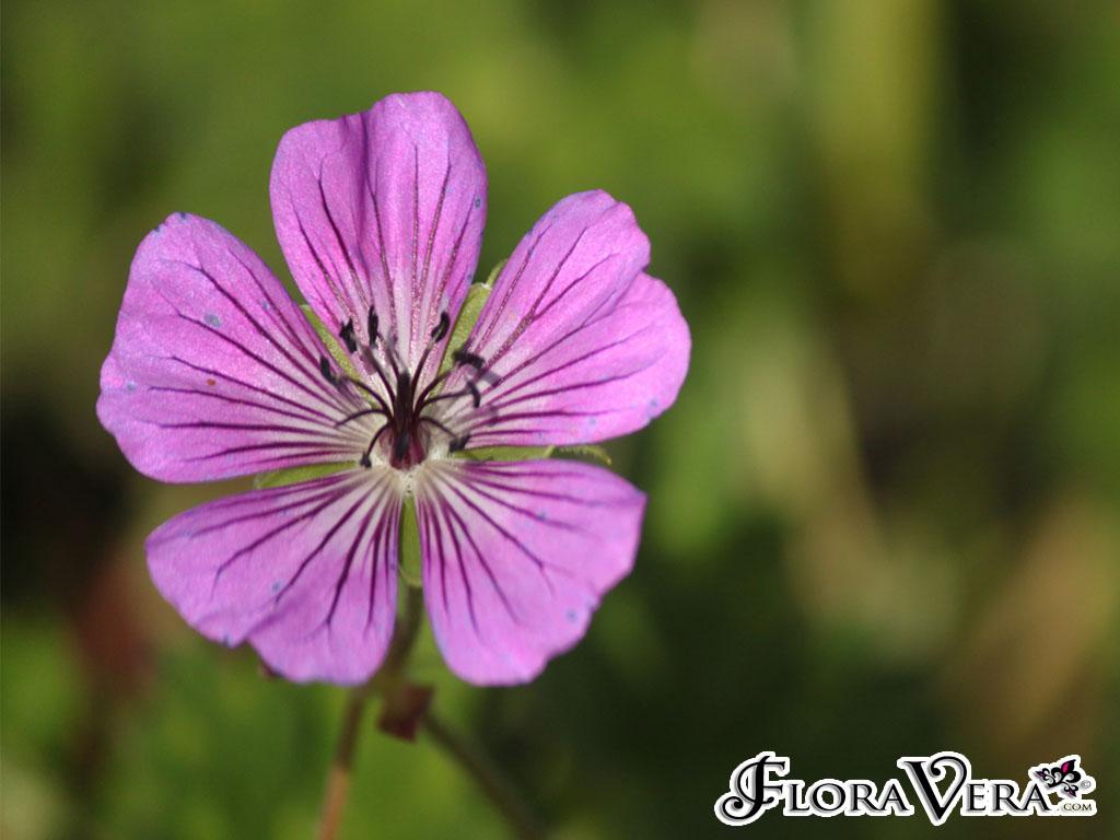 Geranium Sp Floravera
