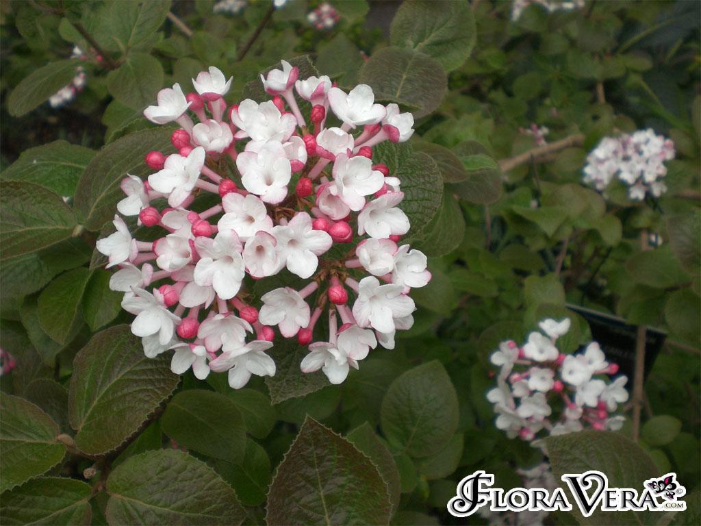 Viburnum Carlesii Floravera
