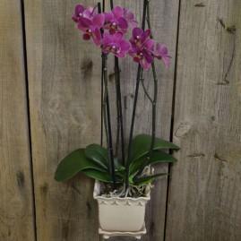 vazoninė orchidėja