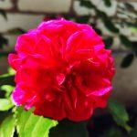 Roze William Shakespeare