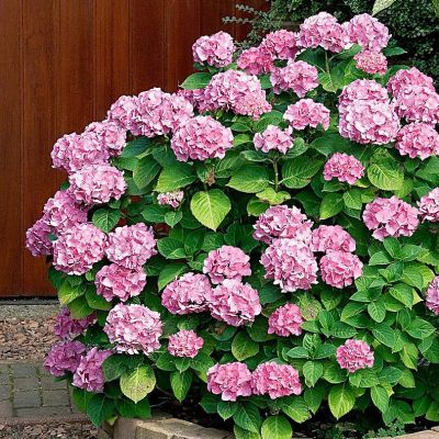 "Hydrangea ""Pink Sensation"""