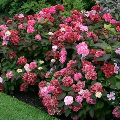 """Hydrangea serrata """"Preziosa"""""""