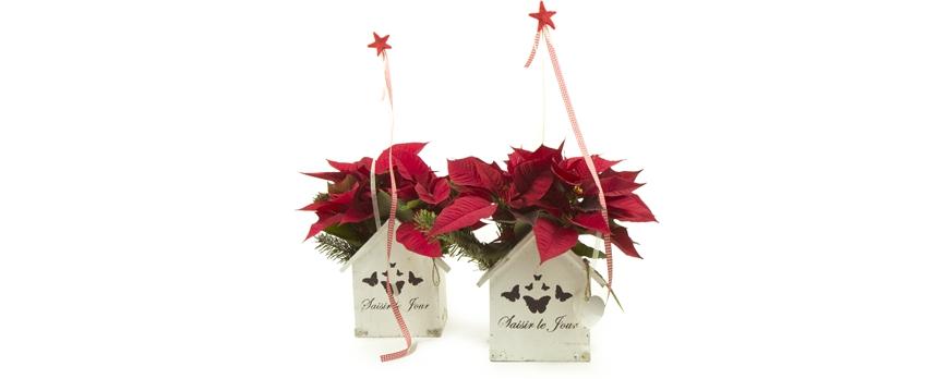 Regalar planta de navidad cuidados florestore - Cuidados planta navidad ...