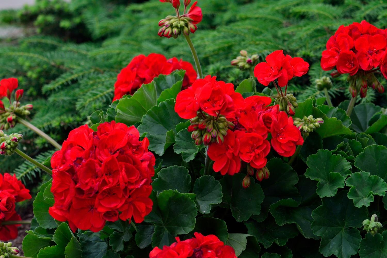 Flore de jardín Geranios