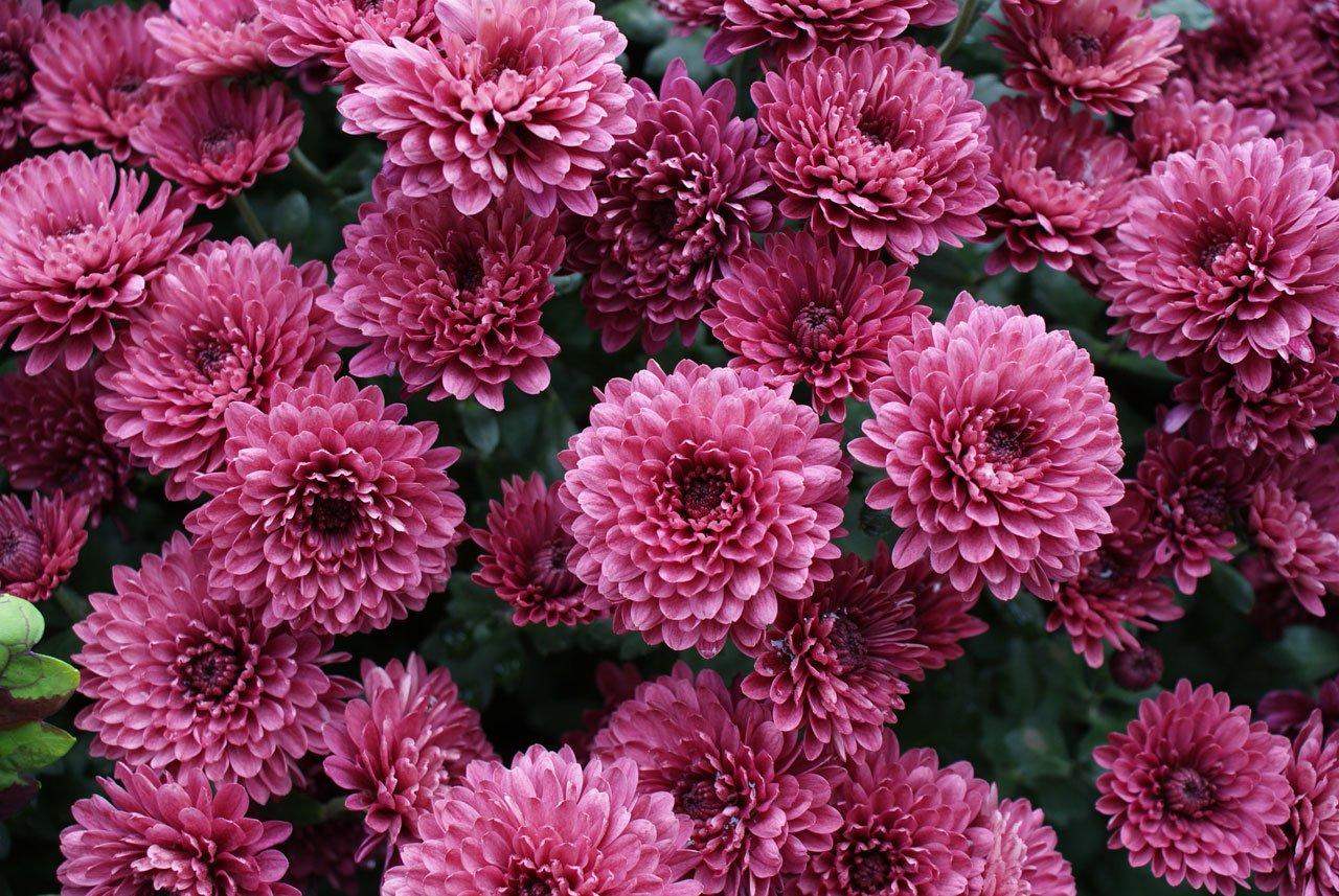 Imagen de las flores de crisantemo.