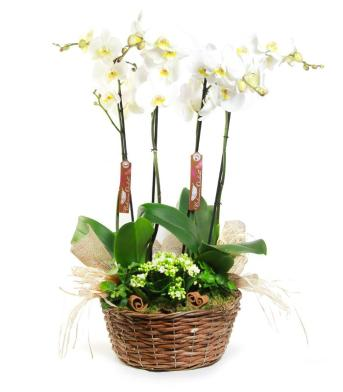 orquidea-pure-whitish