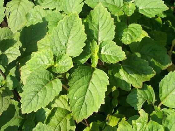 Pachuli, un aceite esencial que calma los nervios, elimina el stress, aumenta la vitalidad y la autoestima...