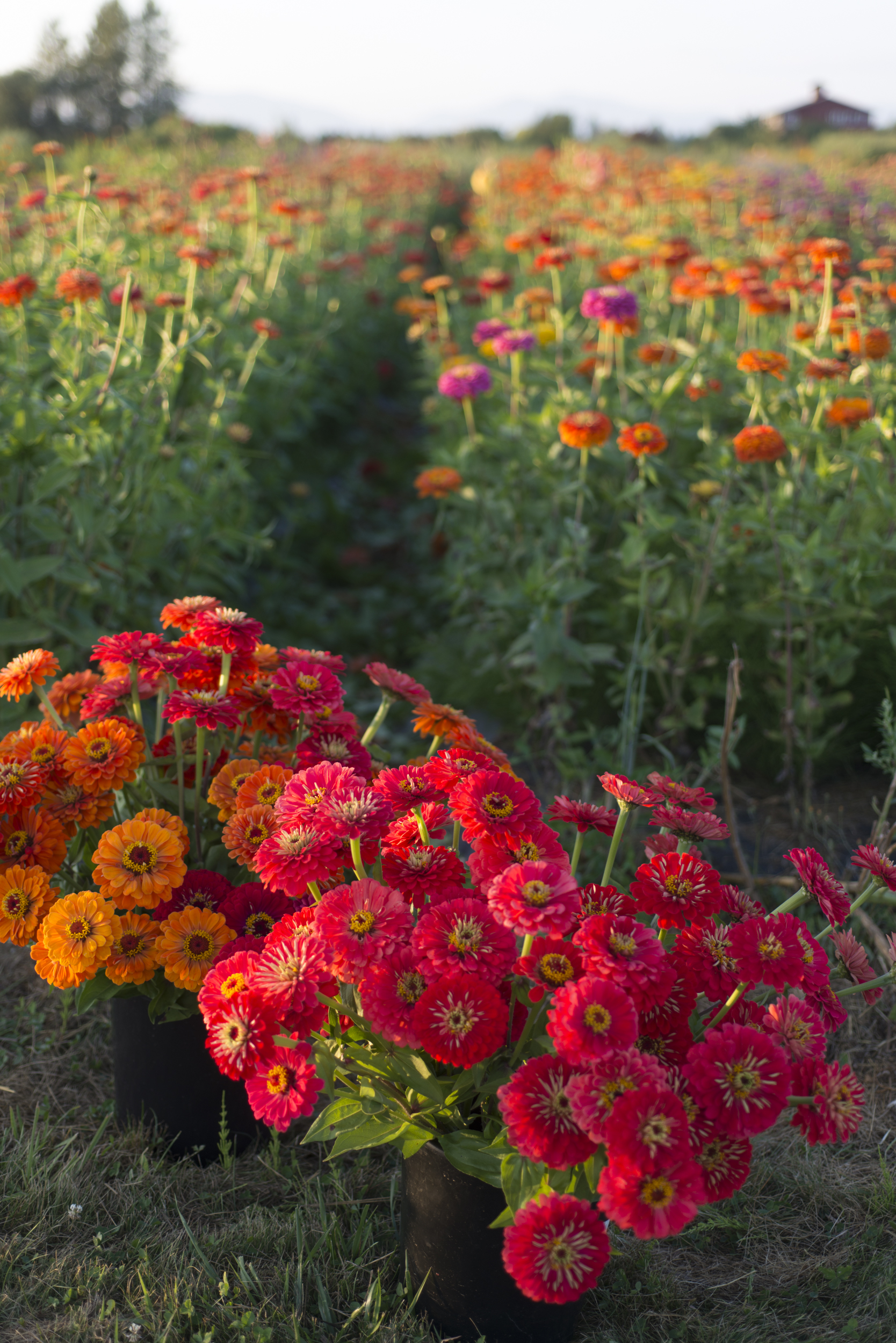Flower Focus Growing Great Zinnias