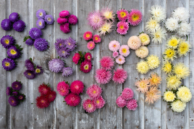 Rainbow of China asters from Floret