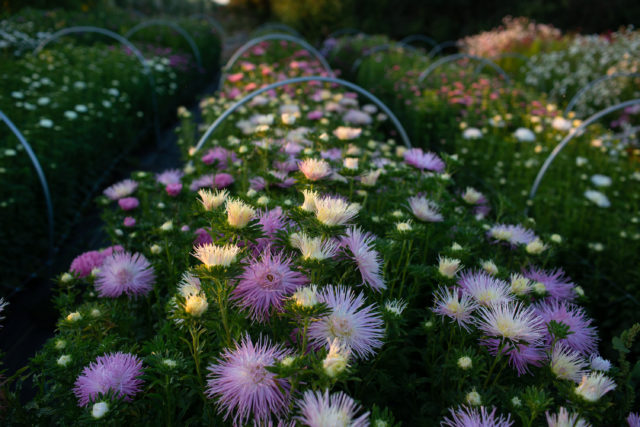 China aster trial at Floret
