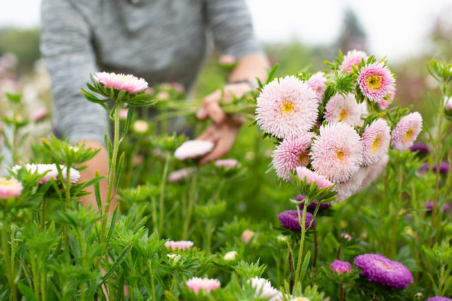 harvesting china aster flowers at Floret