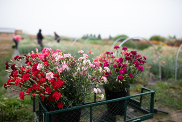 Buckets of Carnations grown from seed at Floret Flower Farm