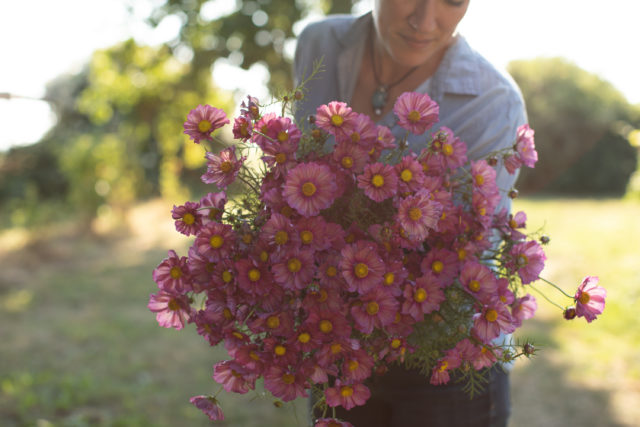 Armload of Cosmos at Floret Flower Farm