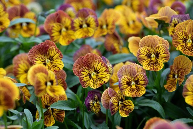 Close up of violas and pansies at Floret
