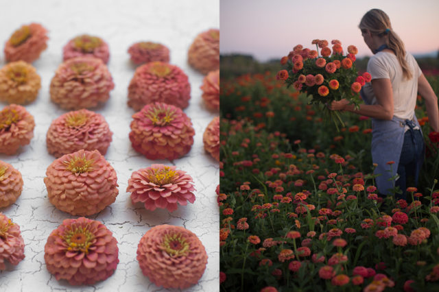 coral and salmon zinnias
