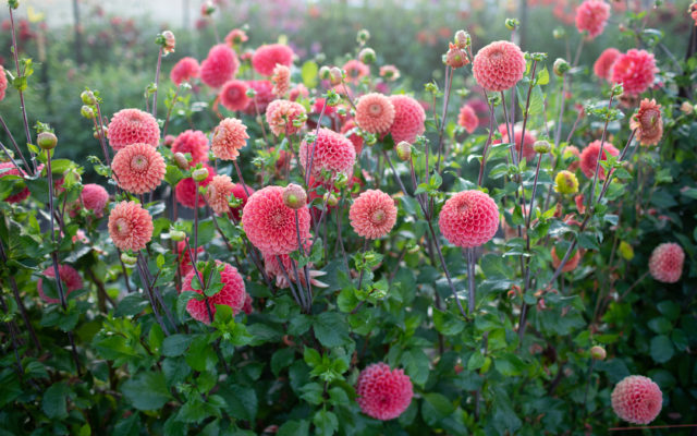Floret dahlia field