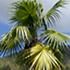 thatch-palm-tree70x70