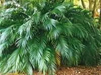 cat palm tree
