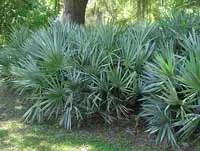 saw palmetto palm tree