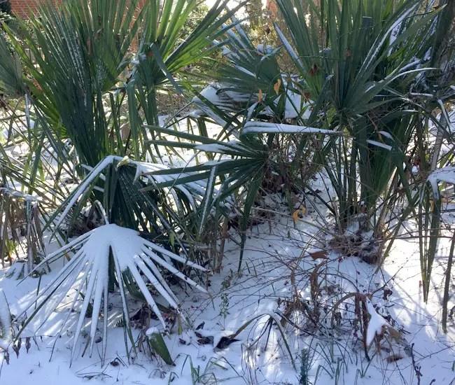 Saw Palmetto Palm Tree (Serenoa repens) under snow