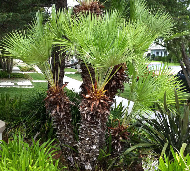 Over pruned Mediterranean Fan Palm (Chamaerops humilisa)