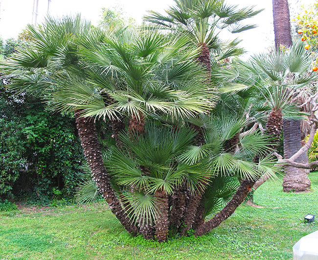 European Fan Palm Tree (Chamaerops humilis)