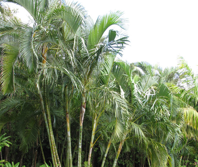 Group of Areca Palm Trees (Chrysalidocarpus lutescens or Dypsis lutescens)