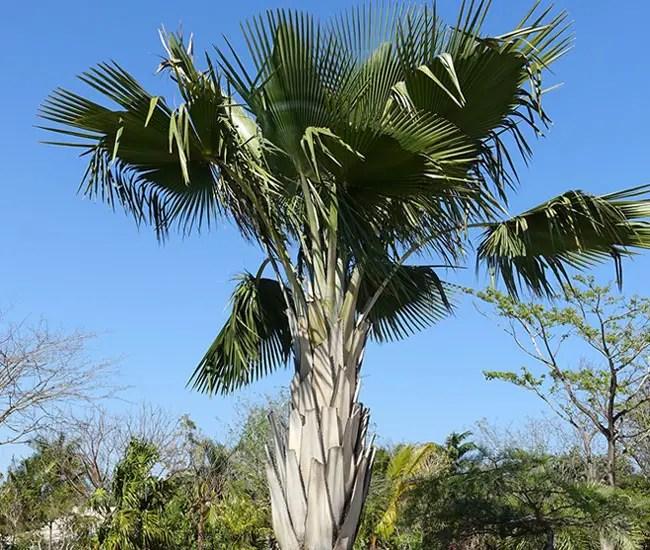 Bailey Copernicia Palm Tree (Copernicia baileyana)