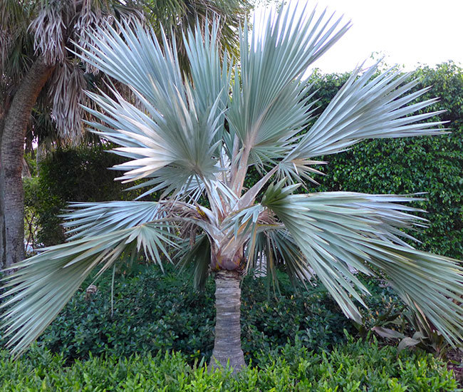 Blue Latan Palm Tree (Latania loddigesii)