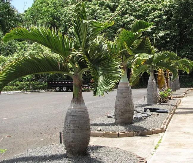 Bottle Palm (Hyophorbe lagenicaulis).