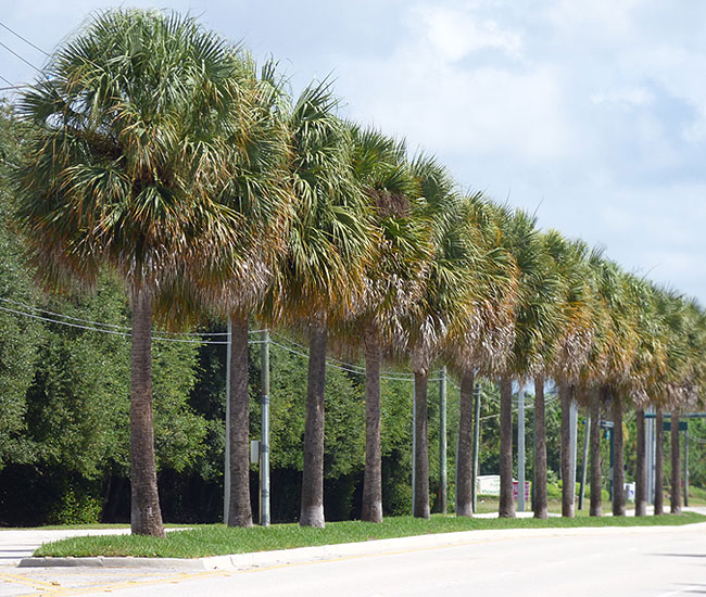 Row of Cabbage Palm Trees (Sabal palmetto)