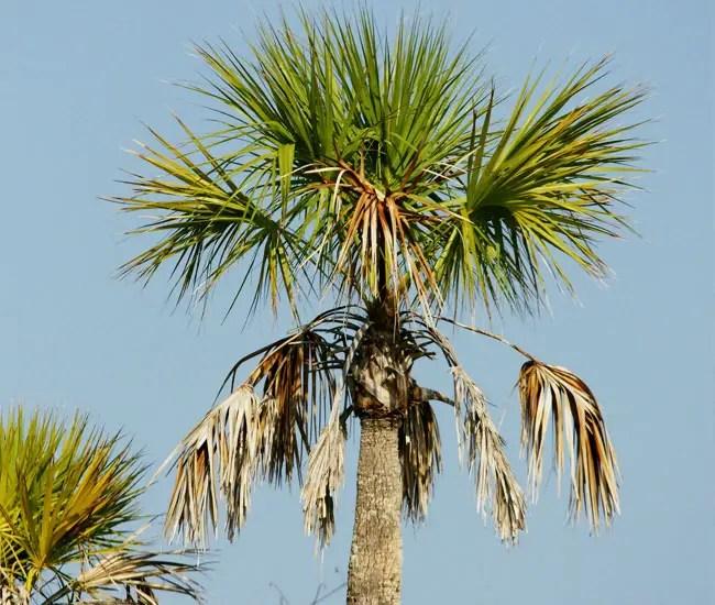 Cabbage Palm Tree (Sabal palmetto)