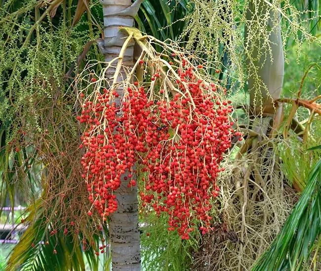 Carpentaria Palm Tree (Carpentaria acuminata) fruits