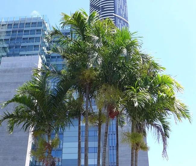 Carpentaria Palm Tree (Carpentaria acuminata)