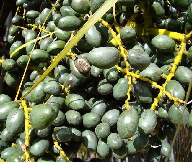 Chinese Fan Palm Tree (Livistona chinensis) fruits