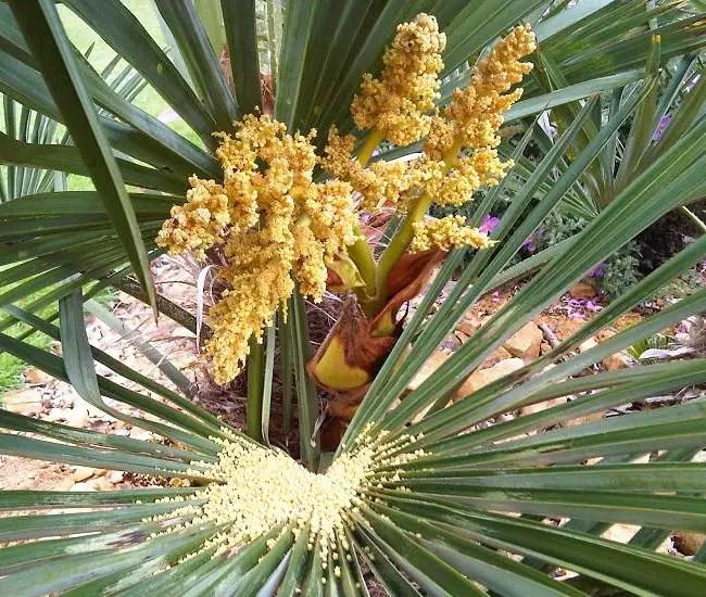 Chinese Fan Palm Tree (Livistona chinensis) flowers