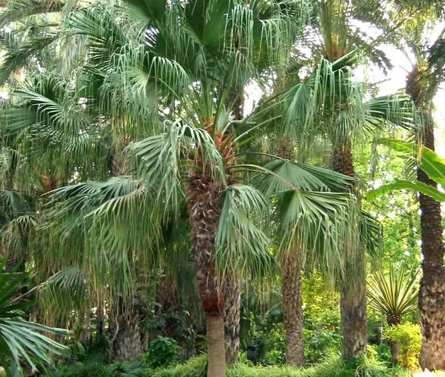 Chinese Fan Palm Tree (Livistona chinensis)