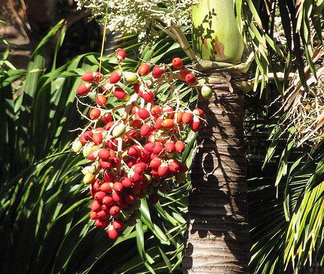 Christmas Palm Tree (Veitchia merrillii) fruits