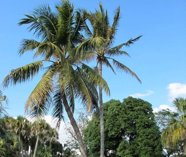 Coconut Palm (Cocos nucifera).