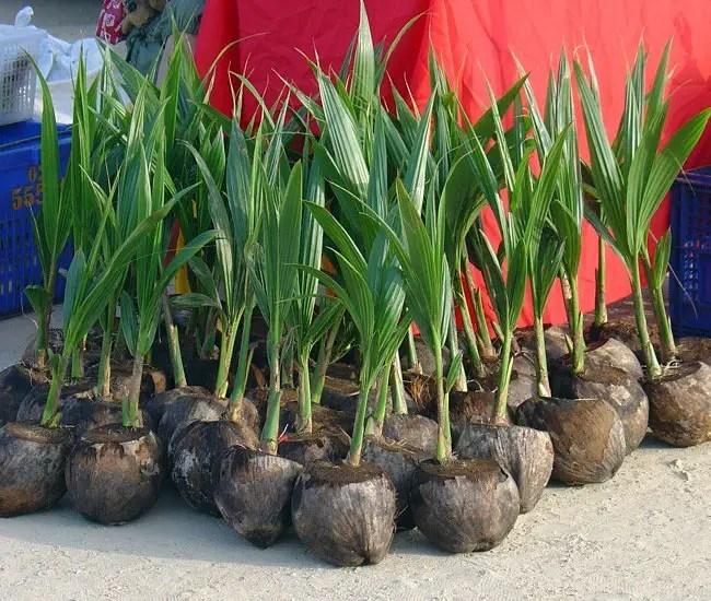 Coconut Palm Tree (Cocos nucifera) propagation