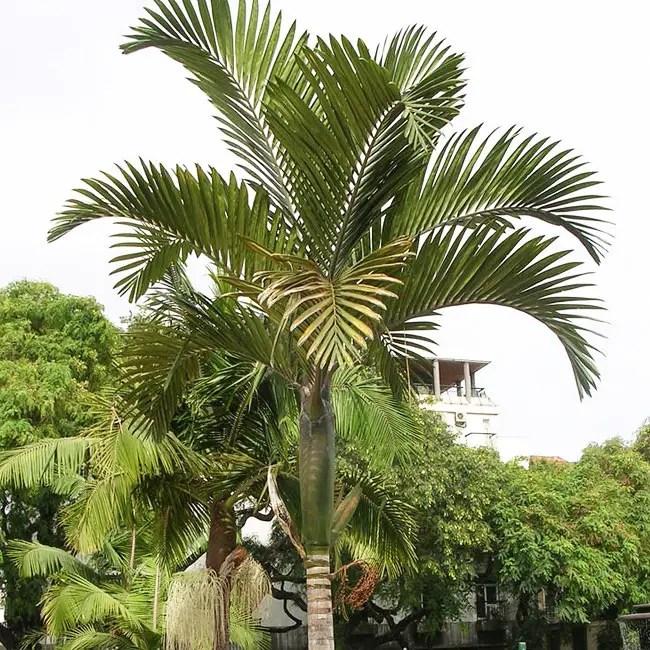 Flame Thrower Palm Tree (Chambeyronia macrocarpa)