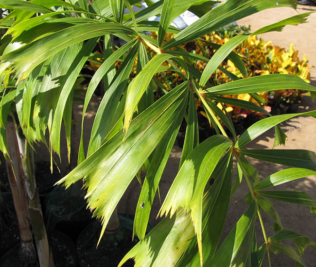 Foxtail Palm Tree (Wodyetia bifurcata) leaves