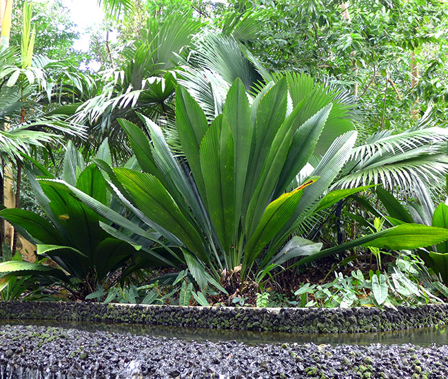 Joey Palm Tree (Johannesteijsmannia altifrons)